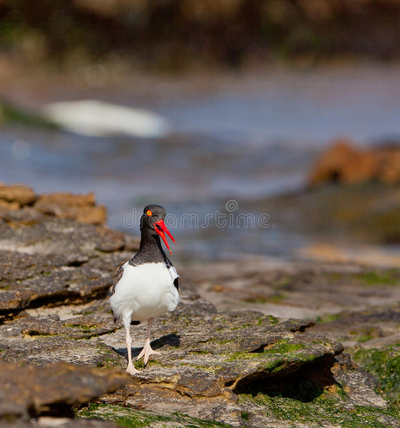 Screaming American Oystercatcher royalty free stock images