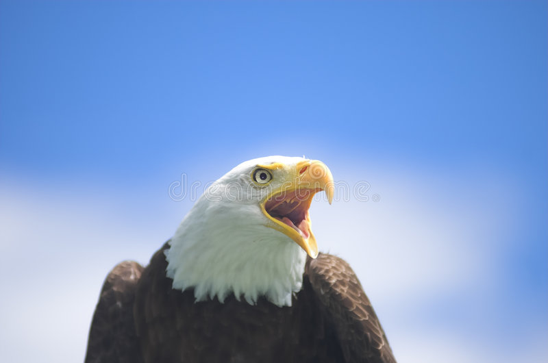 Screaming Bald Eagle stock photos