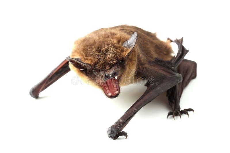 Download Screaming bat on white stock image. Image of mammal, white - 33233657