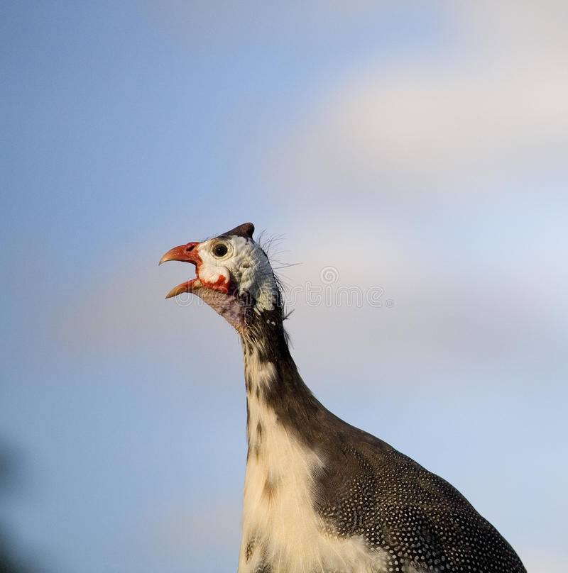Download Screaming guinea stock image. Image of animal, farm, feathers - 22759765