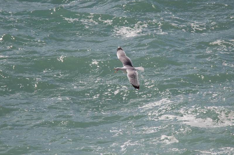 Screaming gull is flying above sea waves stock images