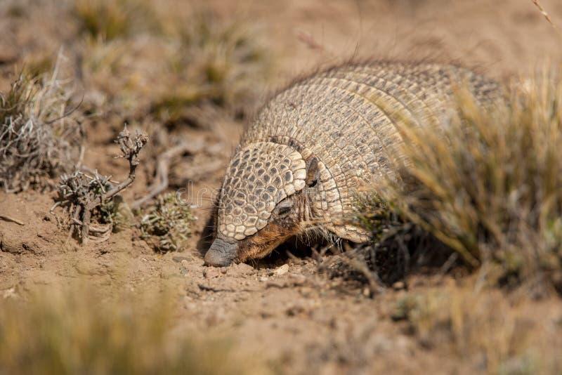 Screaming Hairy Armadillo. Hairy Armadillo aka Screaming Hairy Armadillo in Dry Desert Habitat royalty free stock photo