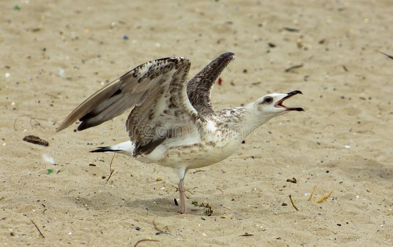 Screaming herring gulls on the sand. Closeup. Herring gulls to which the name is Mediterranean Griffon Gull. On the central beach in Varna, they are quite brave royalty free stock images