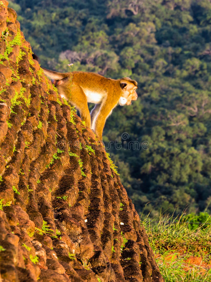 King of the forest. A monkey screams hanging on the walls of the ancient Rock Fortress of Sigiriya, Sri Lanka stock image