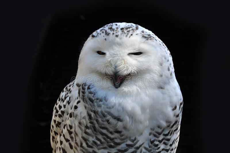 Screaming owl royalty free stock photo