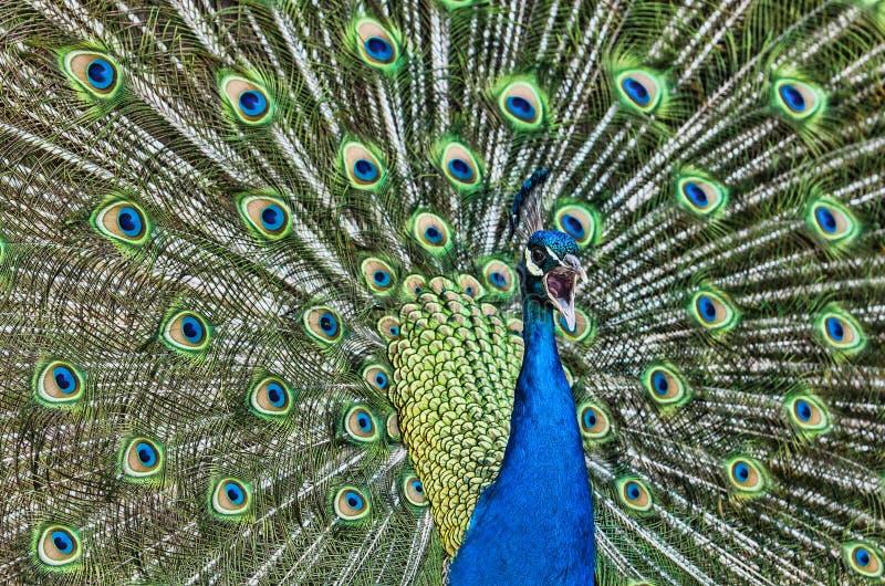 Download Screaming Peacock stock image. Image of plumage, bird - 31659957
