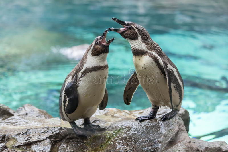 Screaming penguins on the stone. Loro Parque. Spain. Tenerife. Two penguins on the stone. Loro Parque. Spain. Tenerife royalty free stock image