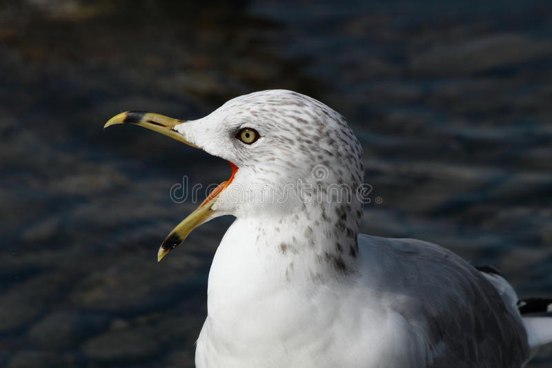 Download Screaming ring-billed gull stock image. Image of seagull - 21223449