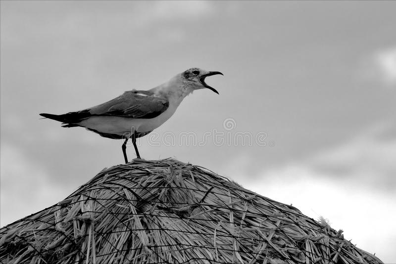 Download Screaming Sea Gull In Straw Stock Image - Image: 33292661