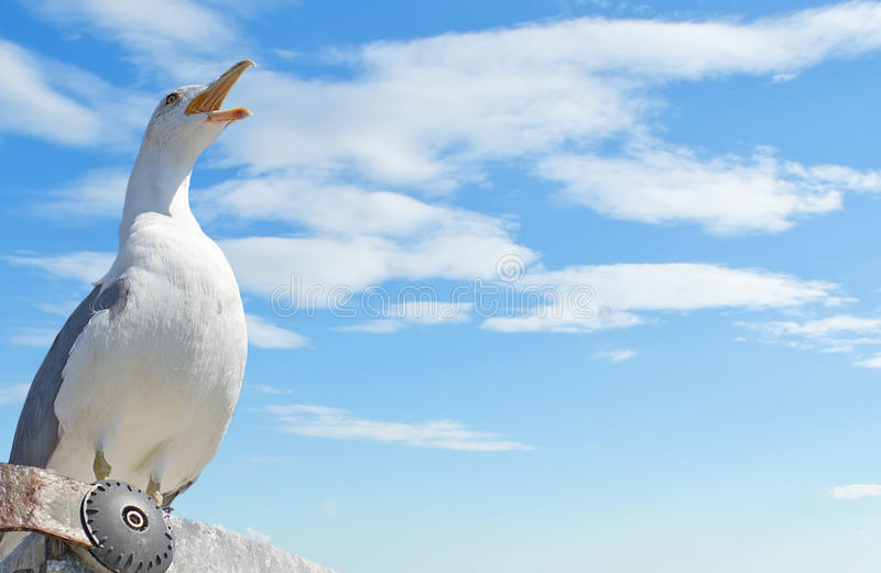 Download Screaming seagull stock photo. Image of outside, sunny - 26607828