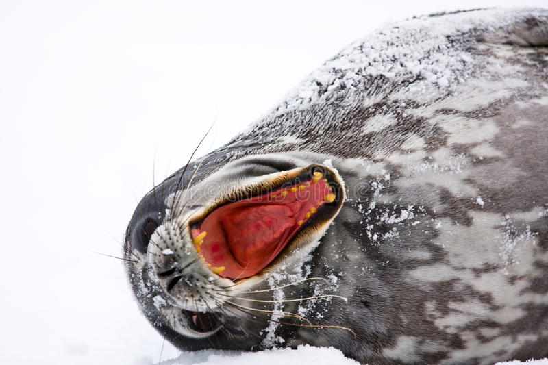 Download Screaming Seal stock photo. Image of sneezing, displeased - 12128590