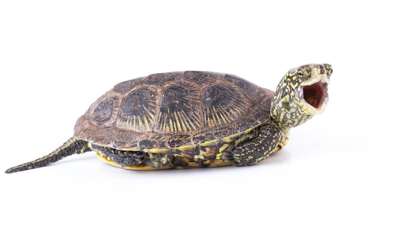 Screaming Turtle Royalty Free Stock Photo
