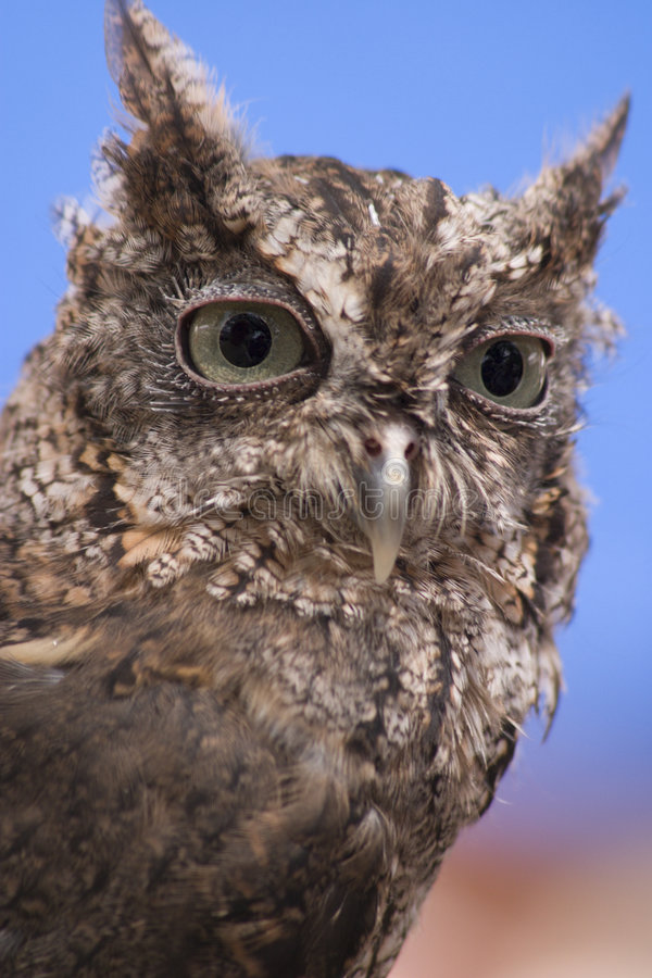 Download Screech Owl stock image. Image of nocturnal, portrait, animal - 459757