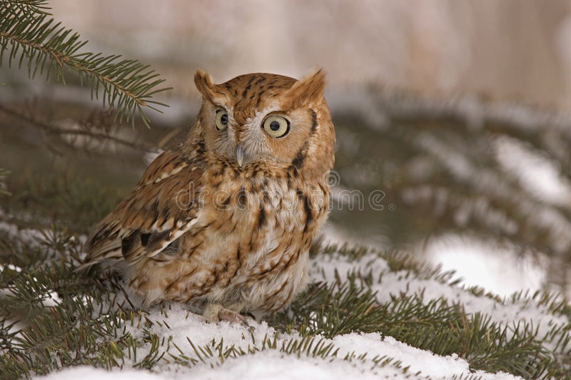 Screech owl. Small screech owl in winter plumage royalty free stock photos