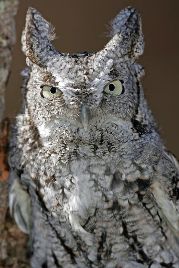 Screech Owl Closeup (white and black). Closeup of a White and Black Screech Owl stock photography