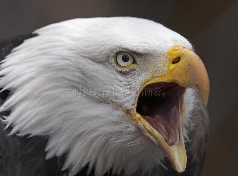 Screeching Bald Eagle stock image