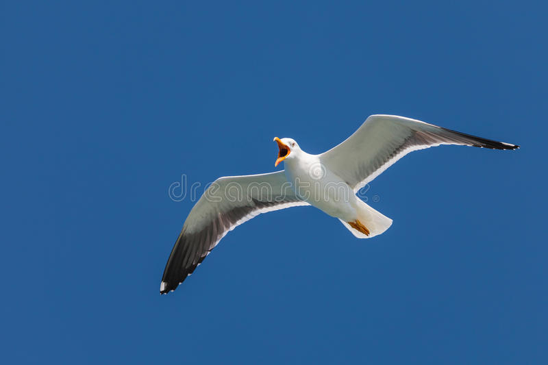 Screeching seagull med en djupblå sky royaltyfri foto