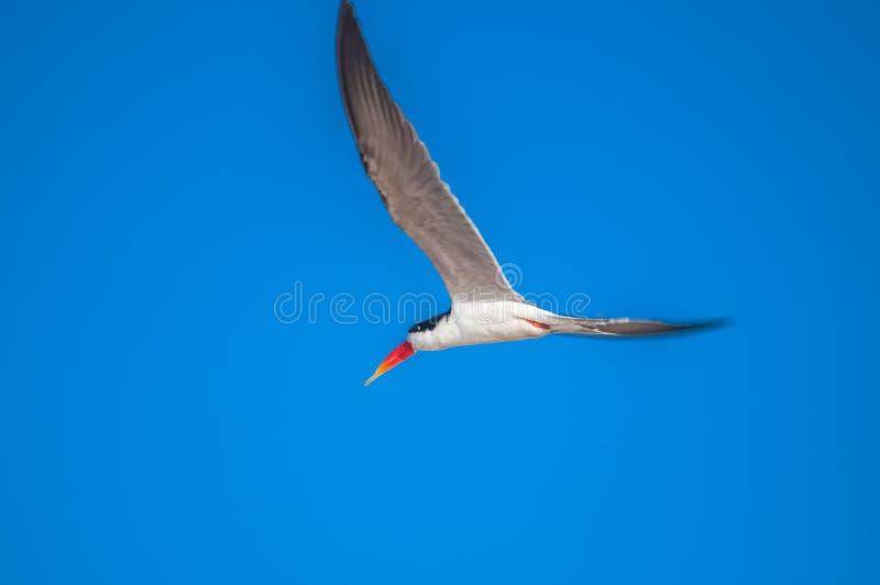 Scrematrice africana in volo immagini stock