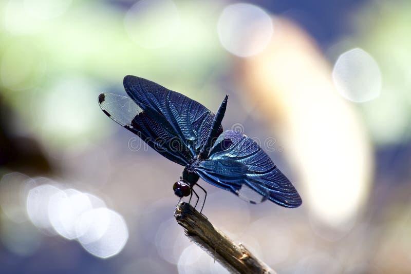 Download Scrematrice della farfalla immagine stock. Immagine di occhio - 56891099