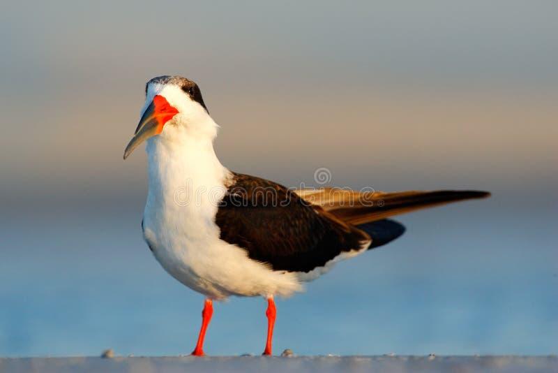Scrematrice nera, Rynchops Niger, bella sterna nell'acqua Scrematrice nera nella costa di Florida, U.S.A. Uccello nel habita del  immagine stock