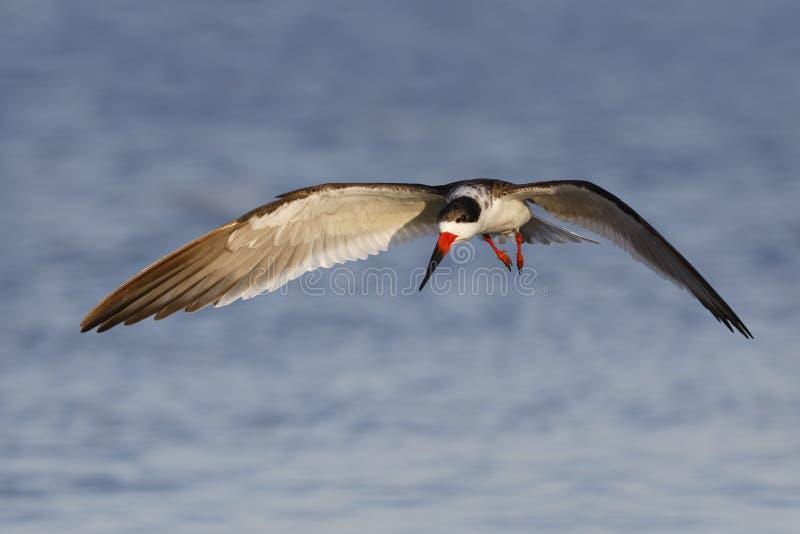 Scrematrice nera in volo - Crystal River, Florida fotografie stock libere da diritti