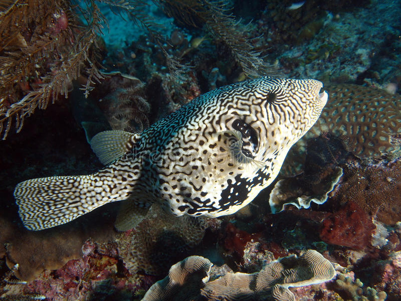 Scribbled Puffer Fish (Arthron mappa). Scribbled Arothron Puffer fish (Arthron mappa) swimming underwater in Indo-Pacific Ocean - Ceram sea, Indonesia stock images