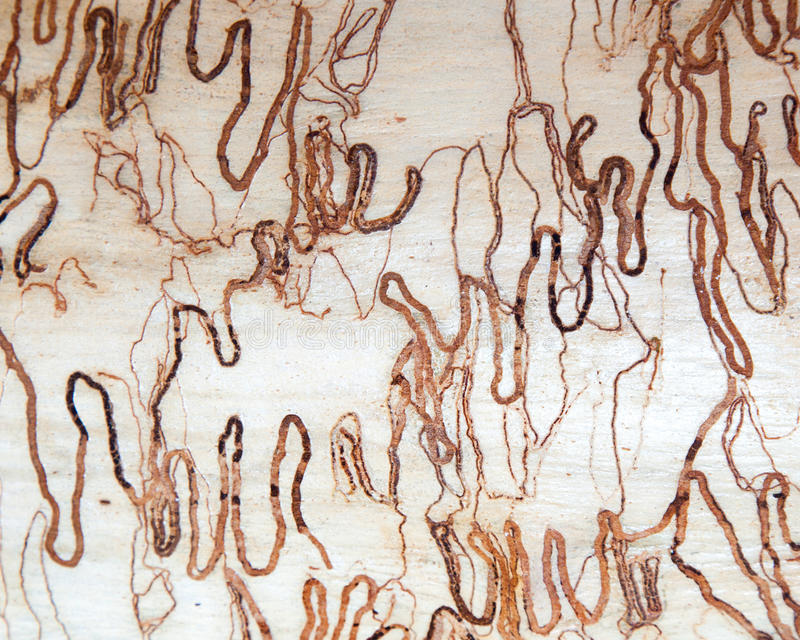 Scribbly gum tree bark background stock photos