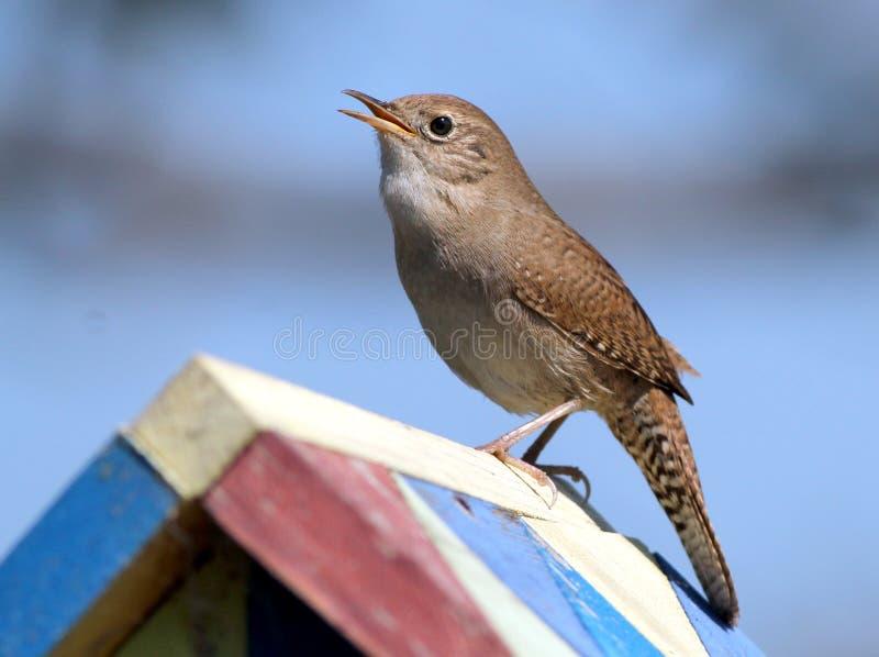 Scricciolo delle case su un aviario fotografia stock libera da diritti