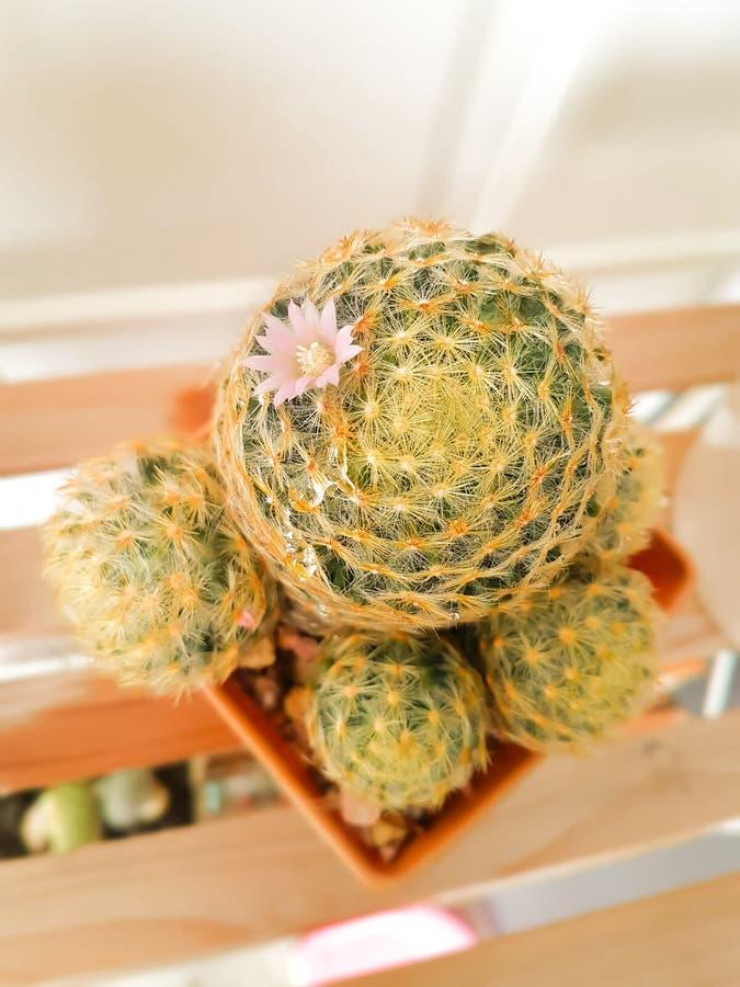 Scrippsiana do Mammillaria, cacto no vaso de flores marrom fotografia de stock