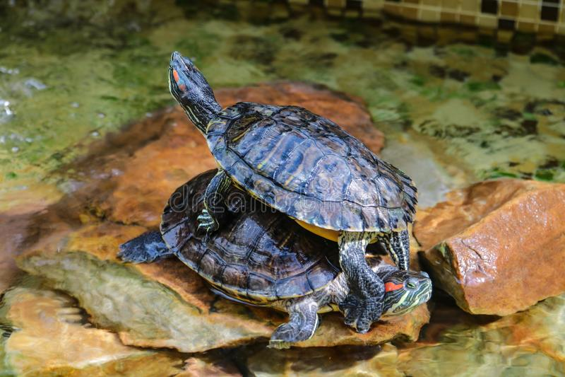 Scripta van Trachemys elegans De decoratieve rood-eared schildpadden zitten op de rotsen in een kunstmatig reservoir Ondiepe diep royalty-vrije stock foto's
