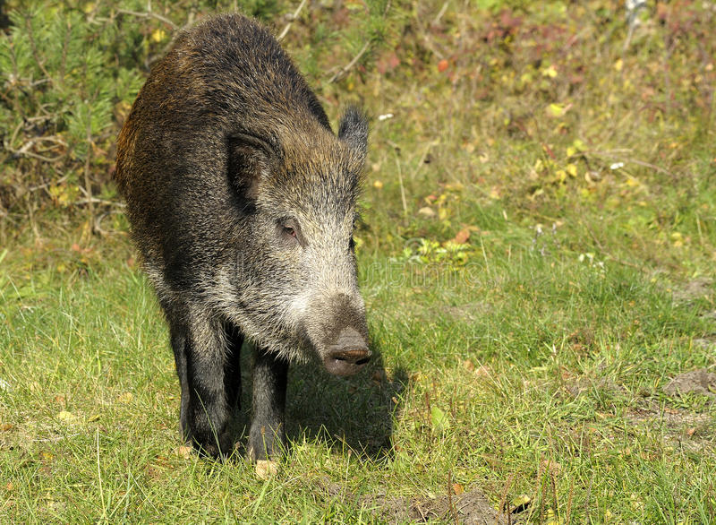 Scrofa foto de stock royalty free