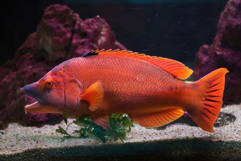 Scrofa barrado de Bodianus do hogfish fotos de stock royalty free