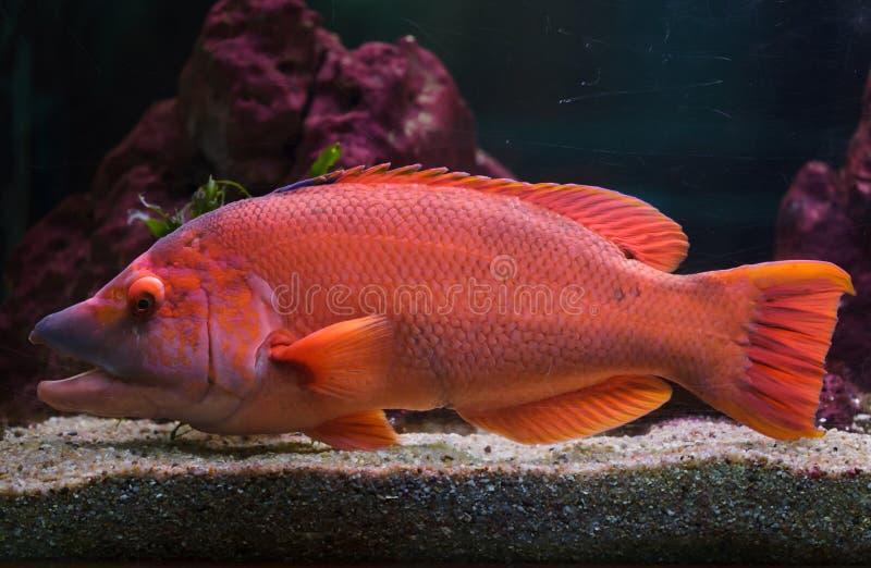 Scrofa barrado de Bodianus do hogfish fotografia de stock royalty free