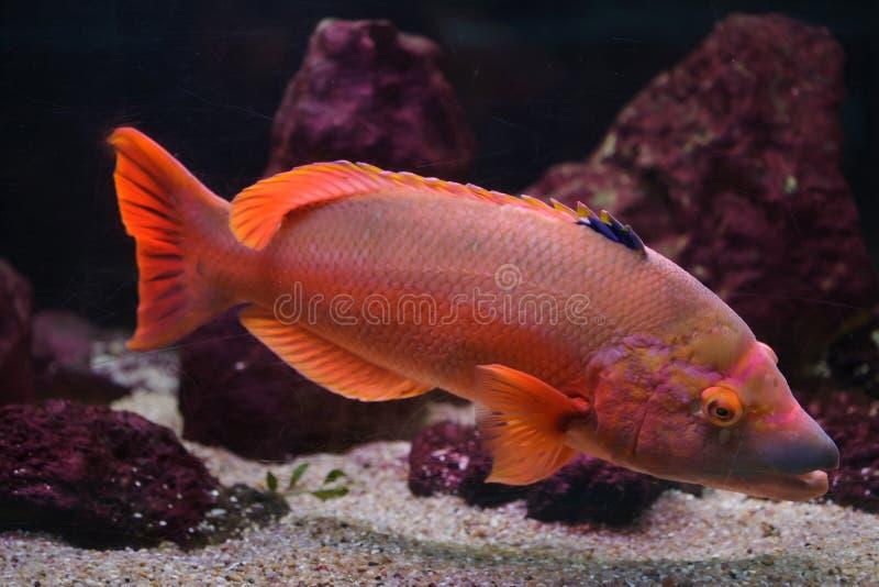 Scrofa barrado de Bodianus do hogfish imagem de stock