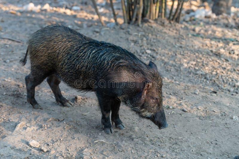 Scrofa de Sus de sanglier, également connu sous le nom de porc sauvage photographie stock libre de droits