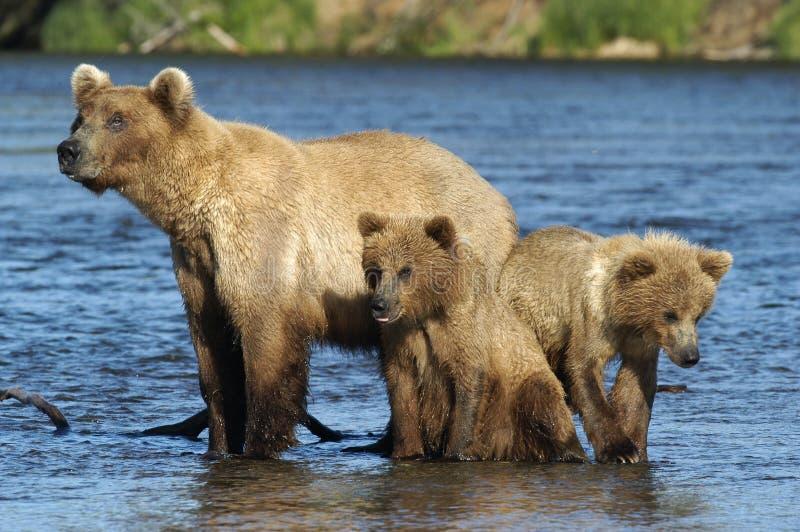 Scrofa dell'orso di Brown ed i suoi due cubs immagine stock
