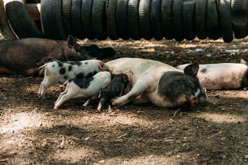 Scrofa fertile che si trova sulla paglia e sui porcellini che allattano azienda agricola, gomme, maiali di vietnamita dello zoo fotografie stock libere da diritti