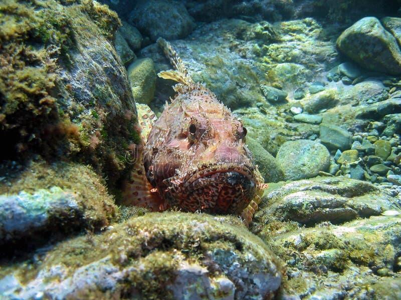 Scrofa rojo del Scorpaena del cabracho subacuático fotos de archivo libres de regalías
