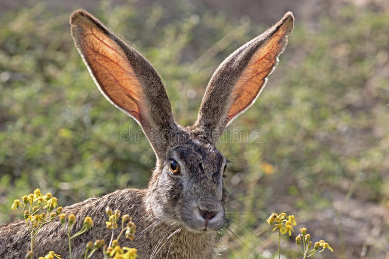 Scrub Hare. A Scrub Hare in Addo Park, Eastern Cape, South Africa stock images