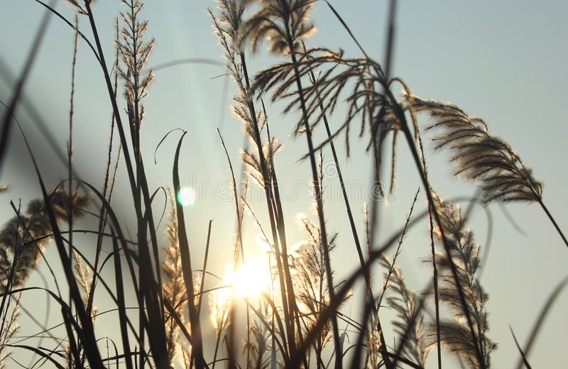 A scrub of reed closeup with sun rays. royalty free stock images