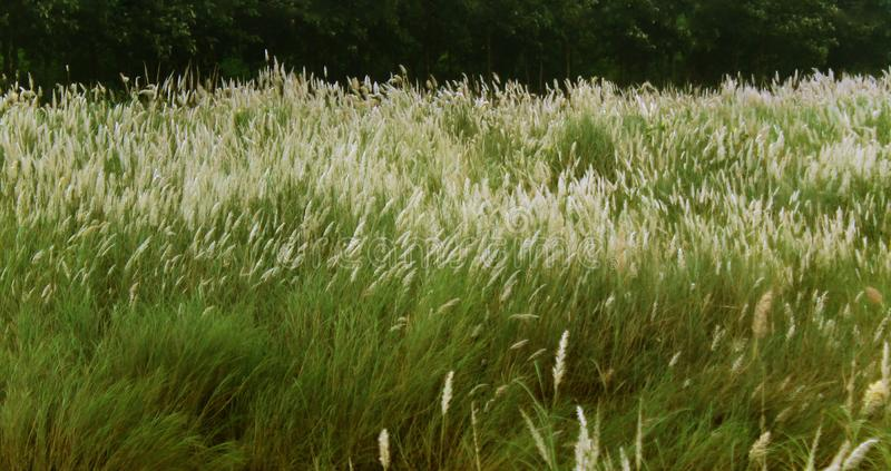 A scrub of reed green natural landscape stock photo