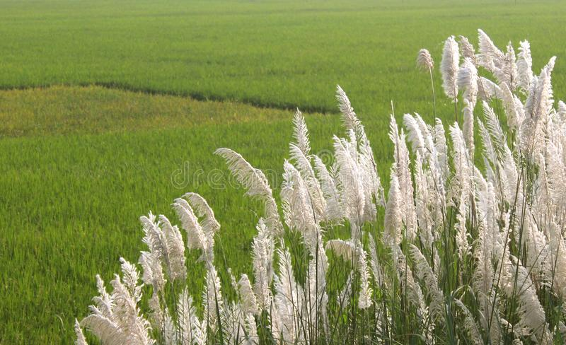 A scrub of reed with paddy field green natural landscape stock photography
