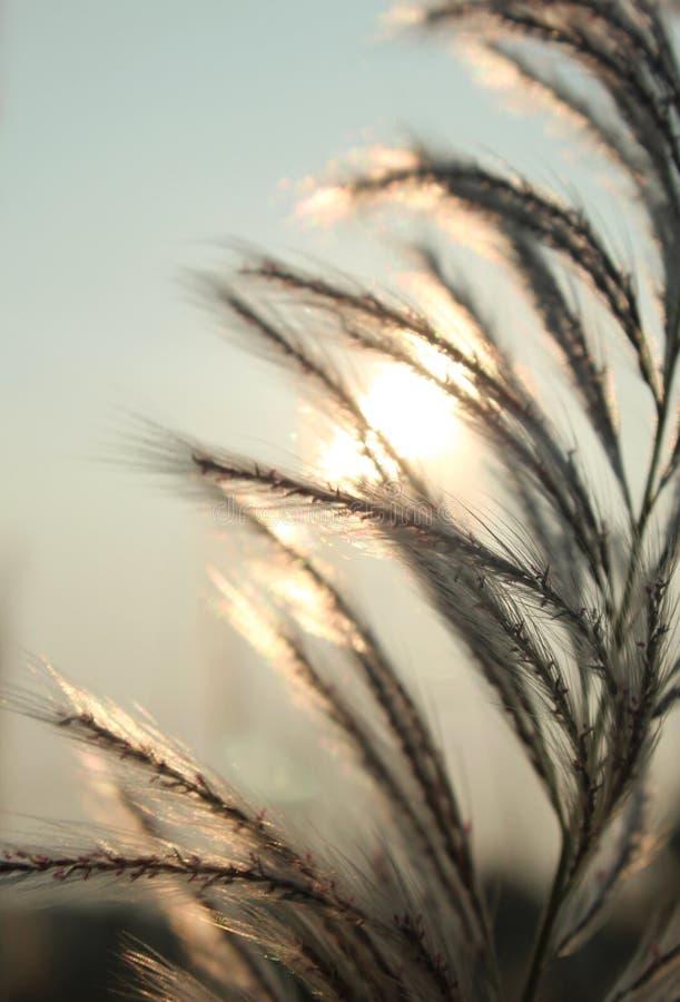 Reeds closeup with sunset sky. royalty free stock photo