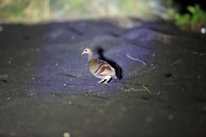 Scrubfowl Moluccan nell'isola di Halmahera fotografia stock libera da diritti