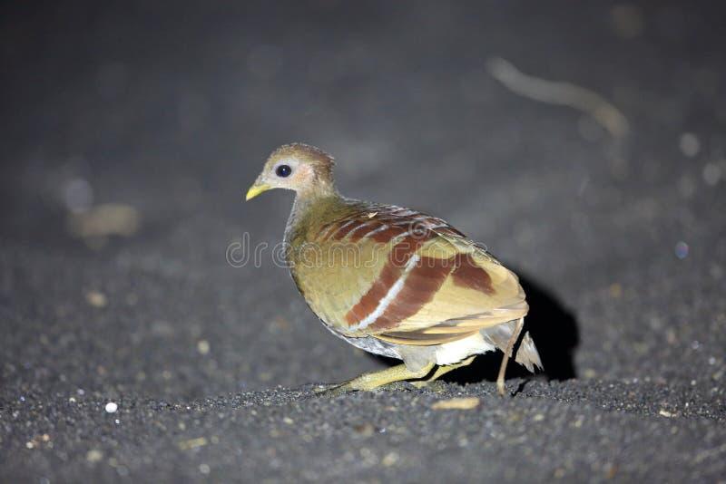 Scrubfowl Moluccan nell'isola di Halmahera fotografia stock
