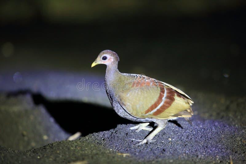 Scrubfowl Moluccan nell'isola di Halmahera immagine stock