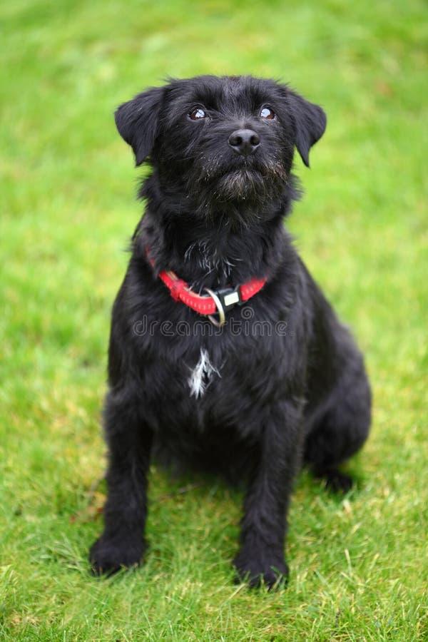 Scruffy dog royalty free stock photo