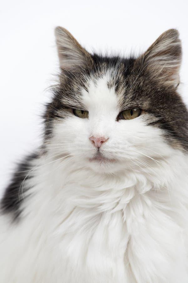 Scruffy elderly cat stock image