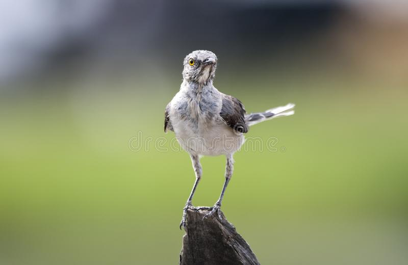 Juvenile Northern Mockingbird molt, Georgia USA. Scruffy plumage juvenile molting young Northern Mockingbird Mimus polyglottos perched on a fence post in Monroe royalty free stock photos