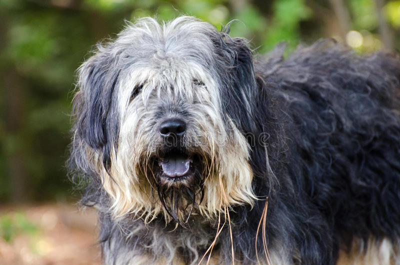 Scruffy sheep dog terrier mixed breed dog. Red Coonhound mixed breed dog, Walton County Animal Control, humane society adoption photo, outdoor pet photography stock images